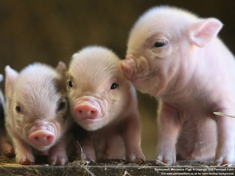 FIX FOOD | News | Death knell may sound for Canada's GMO pigs
